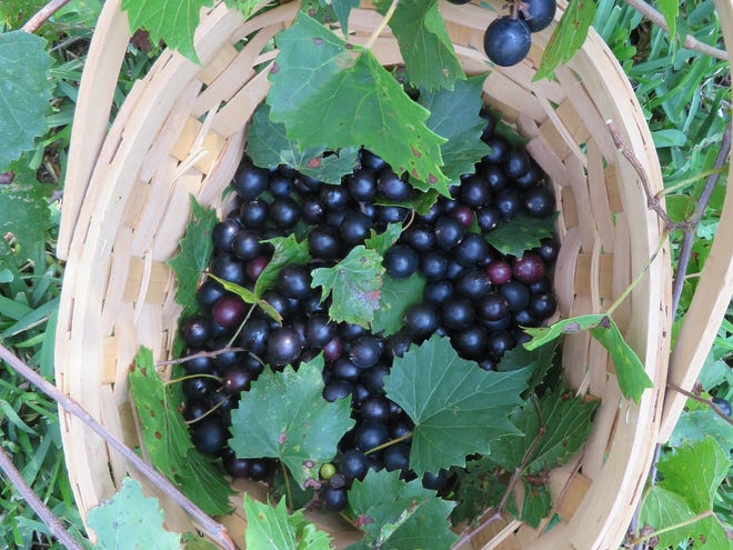 You can find muscadines in many area markets, and also at local farms fresh for the picking.