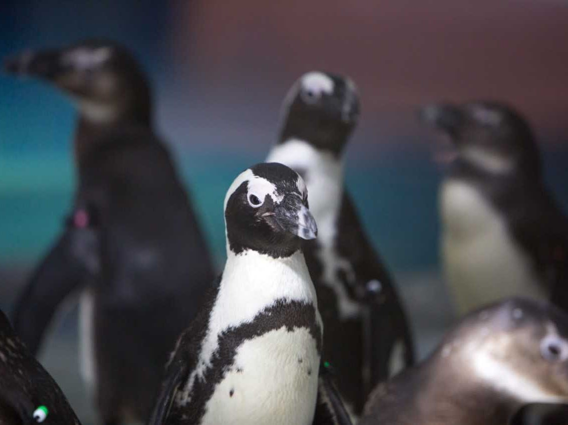 OdySea Aquarium hosts a three-day Hawaiian Luau Saturday, Sept. 1 through Monday, Sept. 3 featuring the Penguin Limbo.