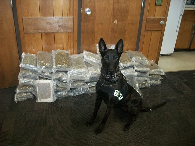 K-9, Chase, sitting in front of the near 70 lbs. of confiscated marijuana.