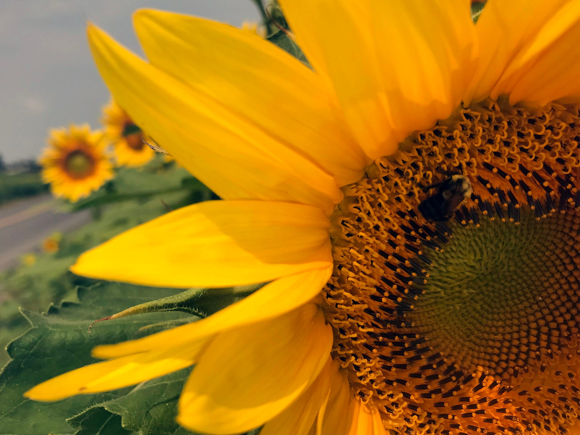 A sunflower field is in bloom south of Chambersburg in Antrim Township. For several years, Lesher Poultry Farm has planted the sunflowers for visitors to enjoy. This year's location is at Marion Road (near Talhelm Rd.), off Interstate 81, Exit 10.