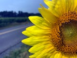 A giant sunflower field is in bloom in Chambersburg. The sunflowers are a crop so please don't pick them. The black oil sunflower's seeds are used as birdseed or the oil is pressed out and processed as a cooking oil.