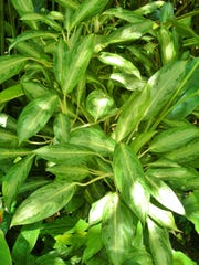 Aglaonema is an easy-to-grow plant for interiors and shady, frost-free landscapes. Give them bright, indirect light, warm temperatures, and even moisture and they will reward you with lots of beautiful foliage.
