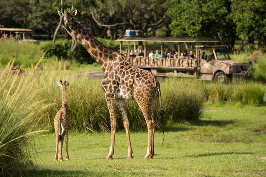 The newest arrival to Disney's Animal Kingdom, an adorable baby giraffe Aella.