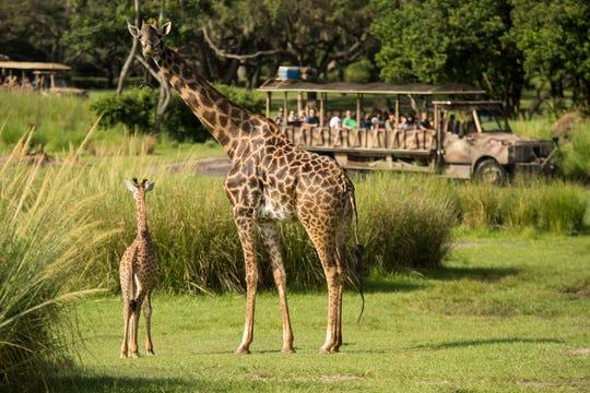 The newest arrival to Disney's Animal Kingdom, an adorable baby giraffe Aella.