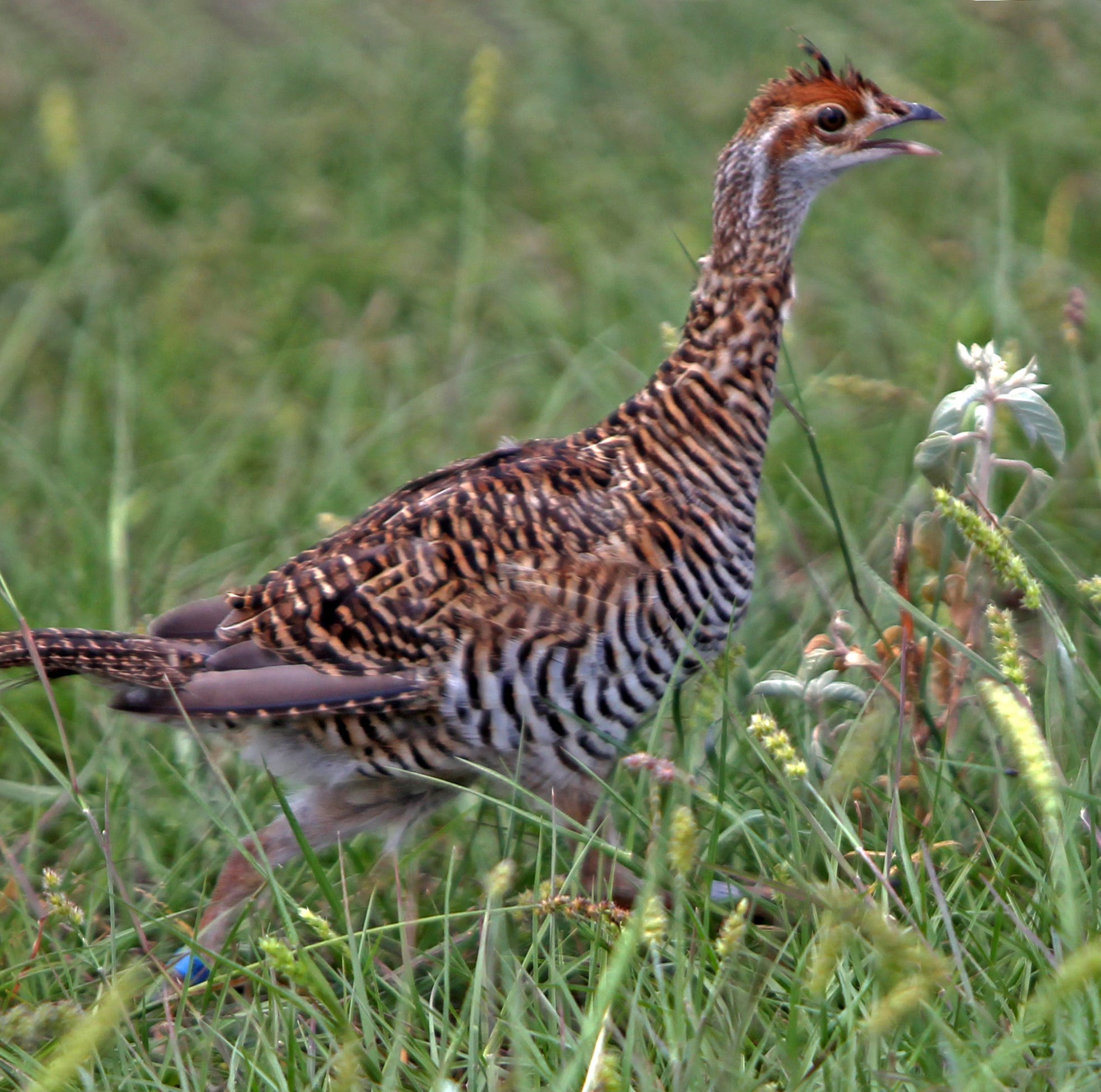 This endangered bird species in Texas has a must-see courting ritual