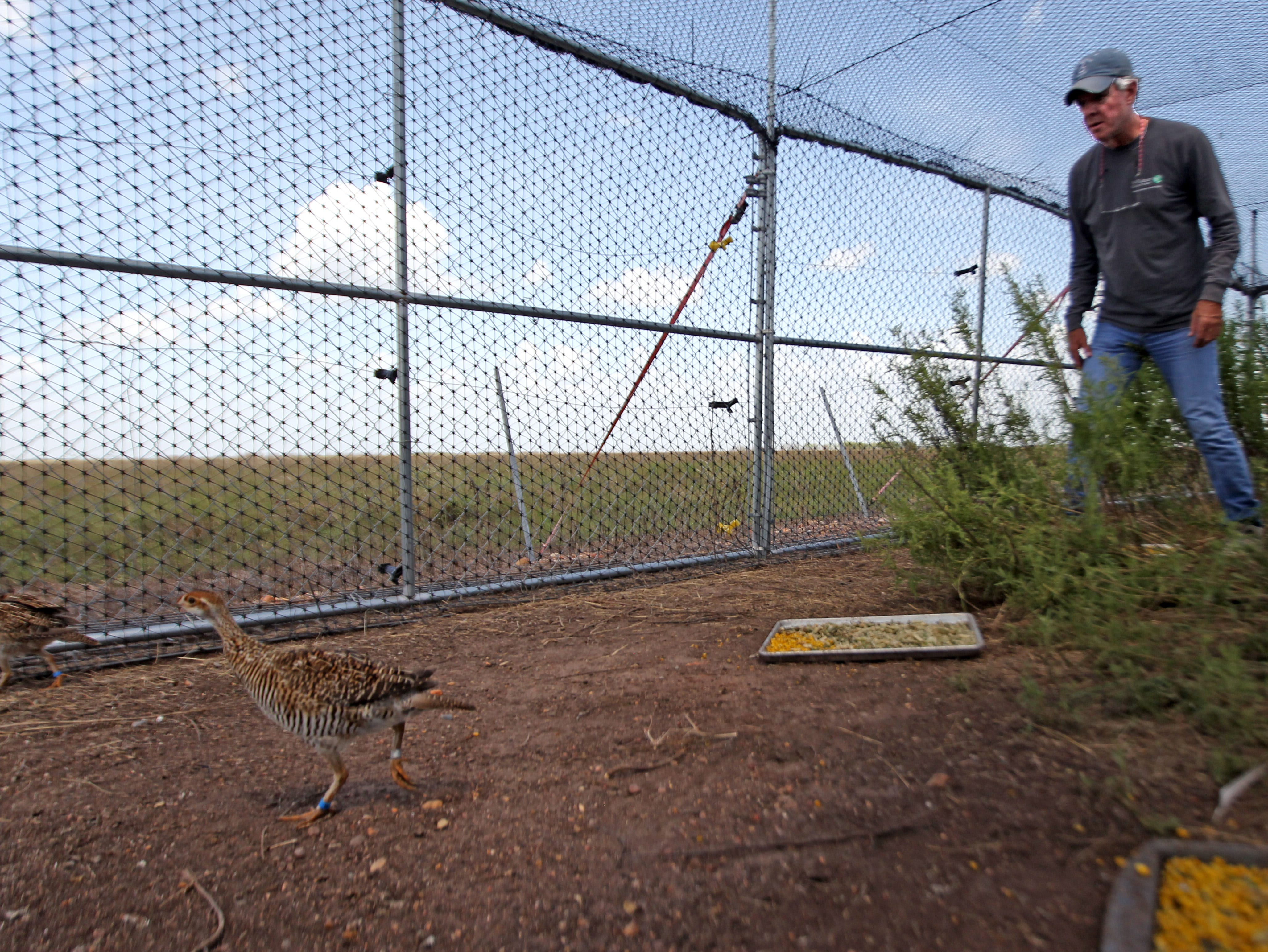 The chore of coaxing the young prairie chickens out of the pens can be tricky when they hide rather than run from Kelso.