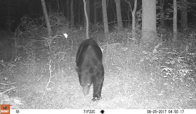 Matt Powell's trail camera caught this black bear visiting his property in Sango over the weekend.