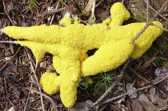 Foligo septica, or dog vomit slime, is one of 900 slime molds on Planet Earth.