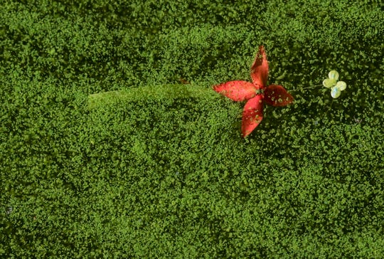 The bloom of a fallen flower floats in an algae-covered canal near the Midpoint Bridge in Cape Coral on Tuesday, Aug.  8, 2018. Cape Coral-based Ecological Laboratories has a possible solution to the algae problem that is plaguing Cape Coral and Southwest Florida waters. They got a letter of no objection to start testing a section of this canal that is filled with algae. They took water samples on Tuesday, Aug. 28, 2018. The process involves a denitrification process.