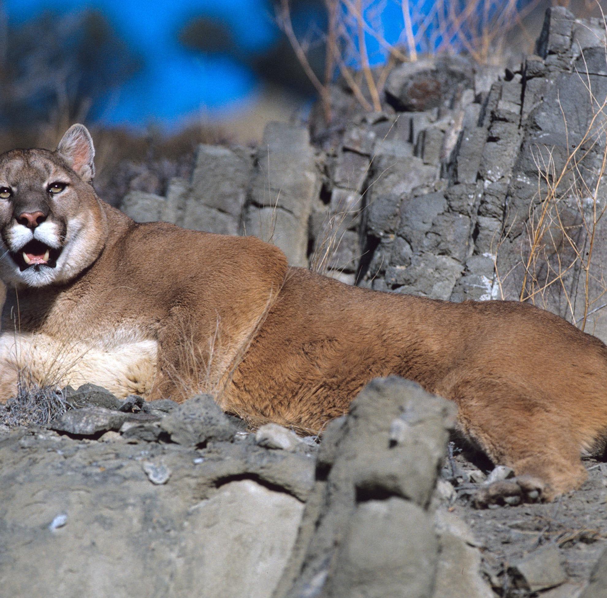 Outdoors briefs: Mountain lion management meeting scheduled