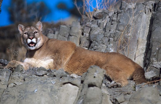 This undated photo released by the Wyoming Game and Fish Department shows mountain lion surveying the surrounding landscape in Wyoming.
