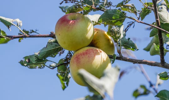Stuckey Farm Market offers a variety of fresh apples during the fall season.