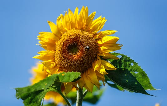 Stuckey Farms Is Hosting Its First Sunflower Festival