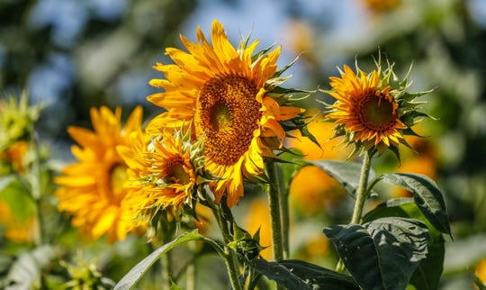 Sunflowers blow in the breeze at Stuckey Farm, Orchard and Cider Mill in Sheridan Ind. on Tuesday, Aug. 28, 2018. The farm will host it's first Sunflower Festival Sept. 1 through 3, and also Sept. 8 through 9. The farm features near 20 varieties.
