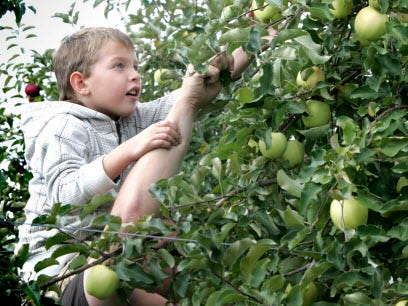 Nathan Perschbacher, 6, gets a boost on his father Terry's shoulders to pick Gingergold apples at Barthel's Fruit Farm.