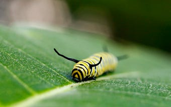 A Monarch caterpillar makes a meal out of a milkweed plant. She'll next build a chrysalis & then emerge transforming her old body parts into a beautiful Monarch butterfly.