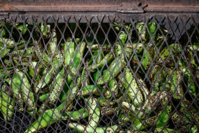 Mountain View Market and Co-op has organic green chile in varying spice levels ready for on-demand roasting.