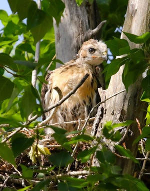A red-tailed hawk chick from this year's nesting obliged Tremblay's camera.