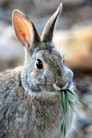 Tremblay protected this little furry bunny from a rattlesnake in the garden.