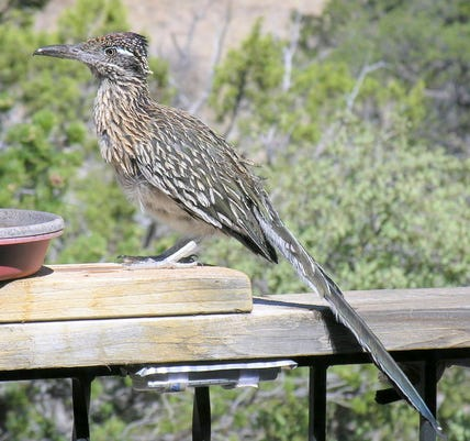 Roadrunner On West Porch Rail