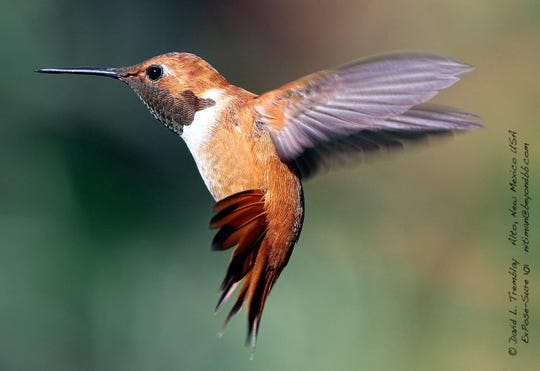 Tremblay captured perfection in this rufous humminbird in flight.