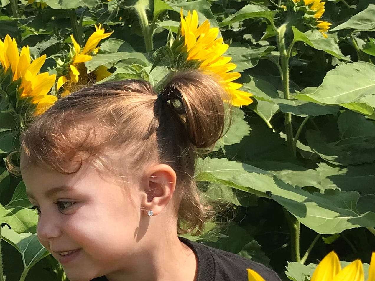 Three-year-old Kenley Welch checks out sunflowers on Tuesday, August 28, 2018. A sunflower field is in bloom south of Chambersburg in Antrim Township. For several years, Lesher Poultry Farm has planted the sunflowers for visitors to enjoy. This year's location is at Marion Road (near Talhelm Rd.), off Interstate 81, Exit 10.