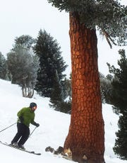 A skier goes around a huge tree below the Blazing Zephyr lift on the Mt. Rose Ski Area  in 2014.