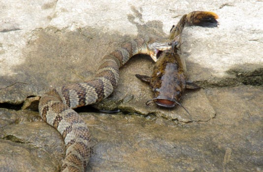 Stockton Lake snake
