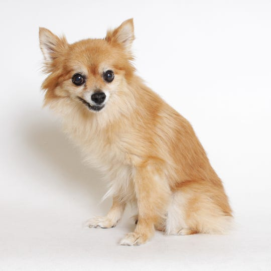 Abigail is an 11-year-old Pomeranian mix.