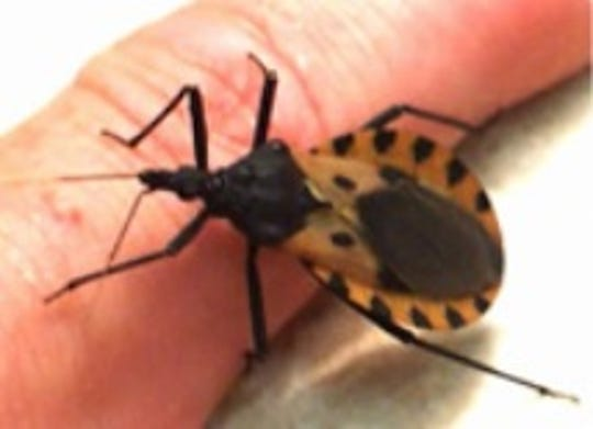 """One of the variety of Triatomine, or """"kissing"""" bugs. A kissing bug specimen from Wichita County tested positive for a parasite that can cause Chagas disease. This is the first incidence of the presence of Chagas in the county."""