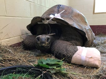 600-pound Aldabra giant tortoise receives CT scan at Brookfield Zoo.