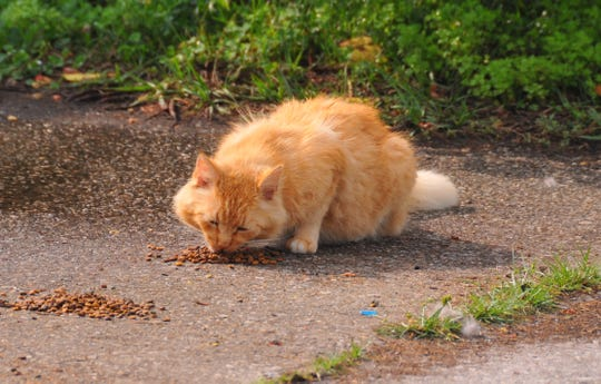 Volunteers across Brevard County feed feral cats like this one at Sun Estates in Cocoa.