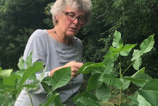 Margaret Skinner, a research entomologist at University of Vermont Extension, examines a larva of a giant swallowtail butterfly on Tuesday, Aug. 28, 2018 at the UVM horticulture farm in South Burlington.