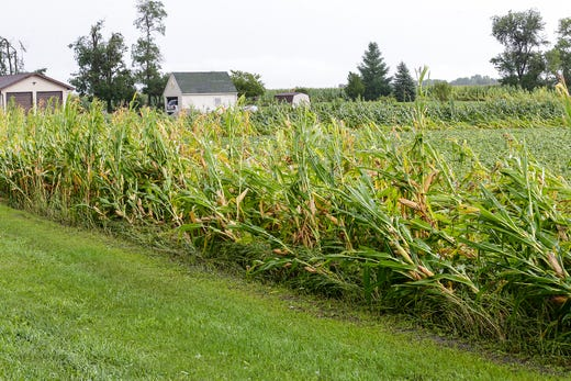 On August 28, 2018, plants on the Cherry Road near Center Road northeast of Waupun, Wisconsin, are being blown off. During the afternoon, fierce storms hit Fond du Lac, with a potential tornado appearing in some places. Doug Raflik / USA TODAY NETWORK-Wisconsin