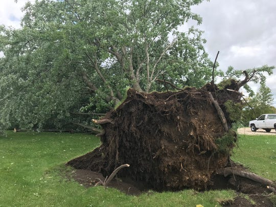 A fallen tree in the community of Dundee. It was one of Jerry and Marie's favorite trees in town.