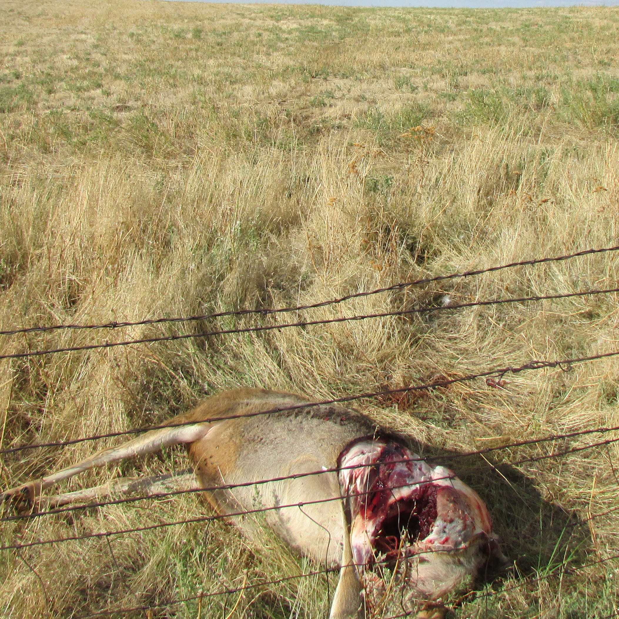 Poached deer found south of Great Falls