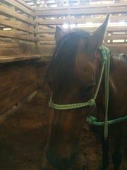 Bruno, a Paso Fino horse, allegedly appeared in a Telemundo (Spanish TV) soap opera in Miami.