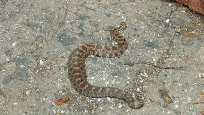 A Pinckney woman said she was bitten by this Eastern Massasauga rattlesnake on Aug. 20.
