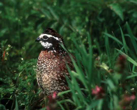 The northern bobwhite quail is Tennessee's official game bird.