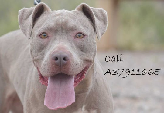 Cali - Female (spayed) pitbull mix; about 2 years old. Intake date: 2/21/2018