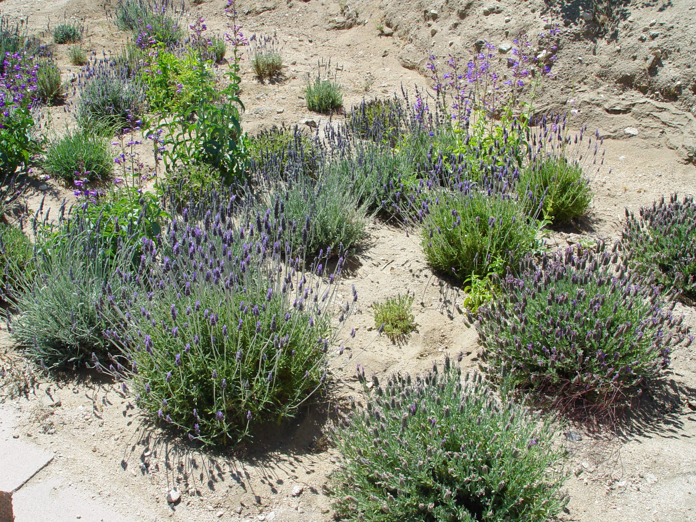 Large flowered Spanish lavender produces smaller bushes that fit better into tighter spaces.