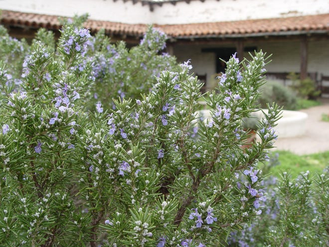Heat, wind and sun tough, grow lots of rosemary for seasoning, crafts and flavored kebab sticks and barbecue brushes.