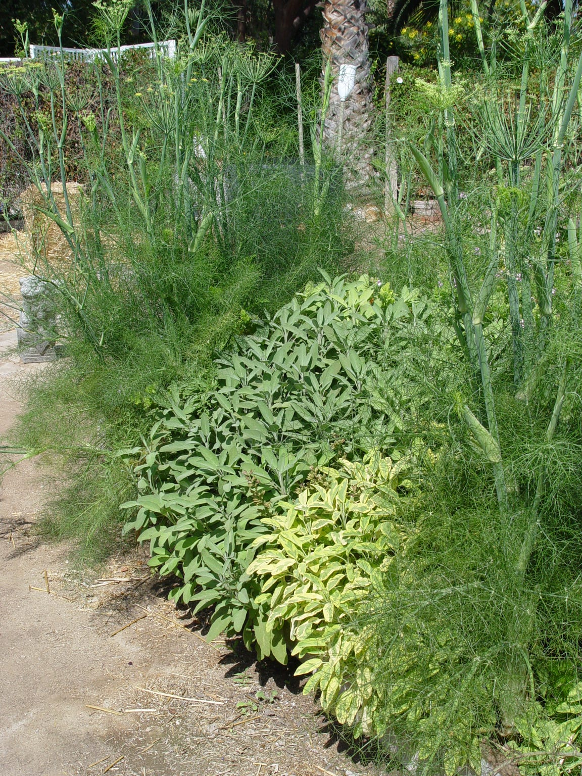 Bulbing fennel, sage and gold variegated sage grow happily side by side.