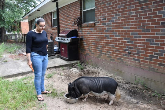 Milton resident Jessica Salter watches as Bacon, Salter's nearly 2-year-old, 130-pound, mini pot-belly pig, drinks water from a bowl in the backyard of Salter's Milton home. Bacon has lived with Salter since he was 6 weeks old. Santa Rosa County next month will consider an ordinance change allowing mini pigs in residential subdivisions.