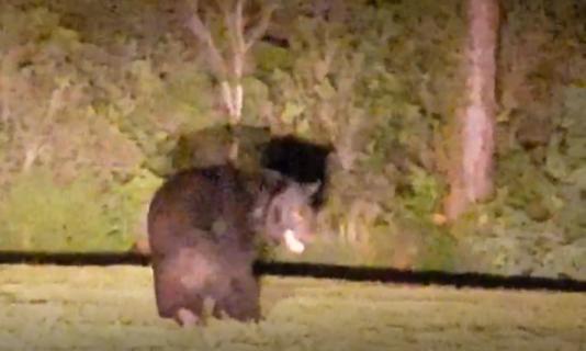Bear Screen Shot