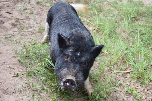 Jessica Salter mini pot-belly pig
