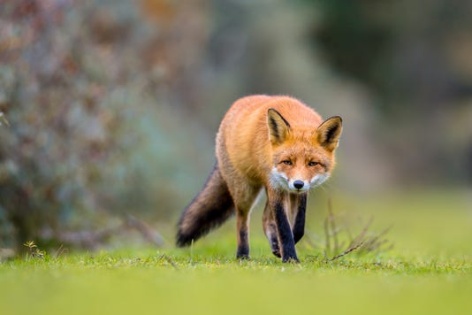 Fox Walking On Grass