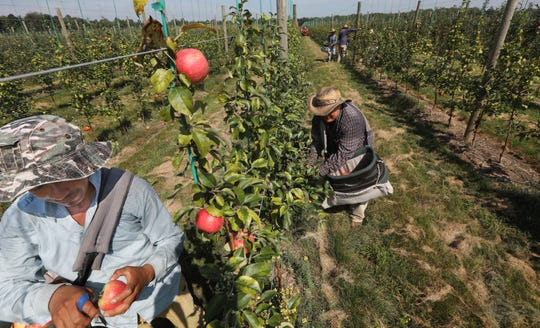 Honeycrisp Apple Picking Gets An Earlier Start In