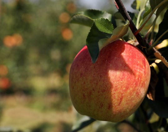 A Premier Honeycrisp apple grows at VanDeWalle Fruit Farm in Alton, Wayne County.