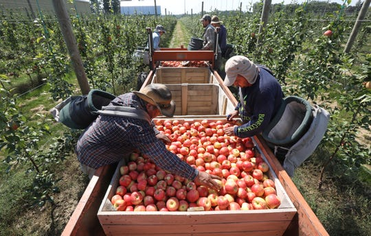 Premier Honeycrisp apples are handled gently by farm workers; their thin skin makes them fragile.